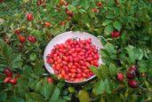 Høsting av næringsrike nyper